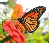 Butterflies :