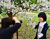 Cherry Blossoms of Japan :