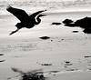 B/W Egrets :