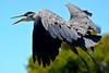 Great Blue Heron :