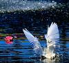 Snowy Egret Water Dancing :